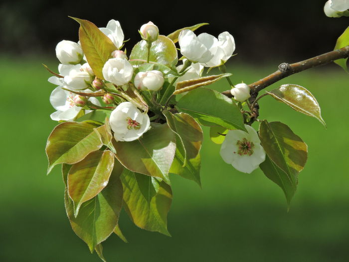Apple Blossoms Plant Growth Flower Flowering Plant Beauty In Nature Vulnerability  Freshness Fragility Close-up Leaf Plant Part White Color Focus On Foreground Petal Nature No People Day Inflorescence Flower Head Green Color Springtime
