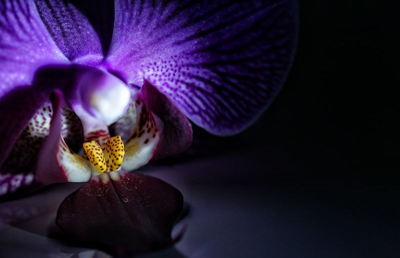 Close-up of purple orchid in darkroom