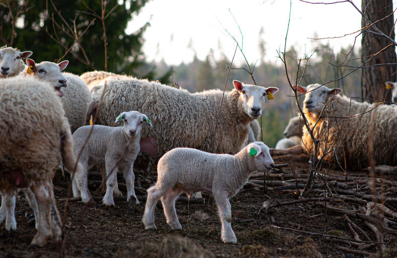 Sheep standing in a field