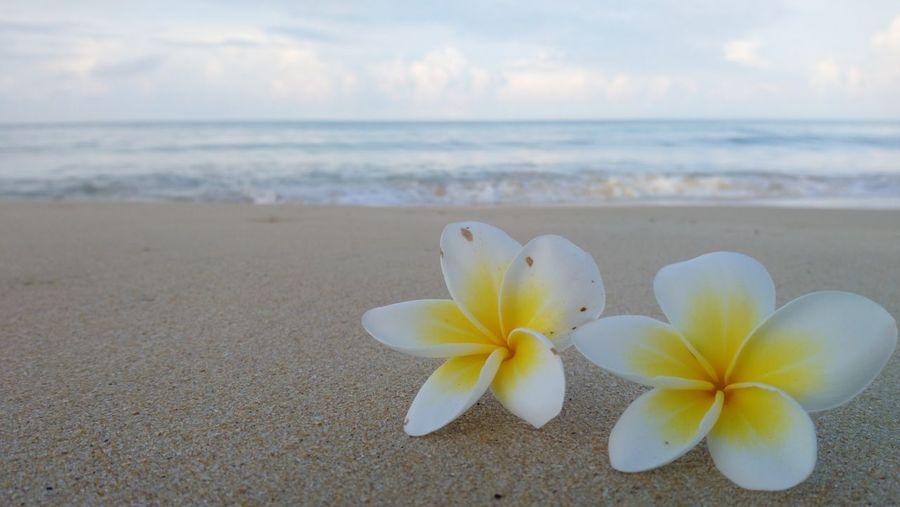 Close-Up Of Frangipani On Beach By Sea Against Sky