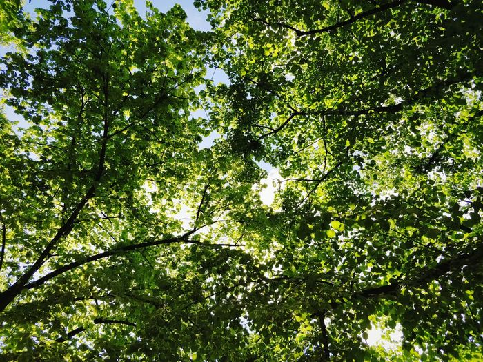 Lookingup Green Color Backgrounds Copy Space Nature Eco Eco Tourism Future Summer Bright Tree Backgrounds Branch Full Frame Leaf Green Color Sky Plant Leaves Flora Growing Green Spring Vegetation Greenery