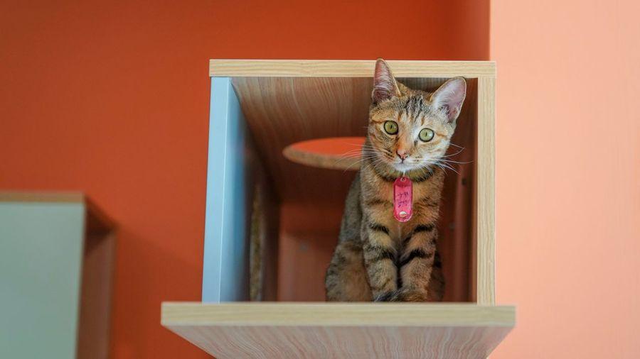 好奇 Cat Domestic