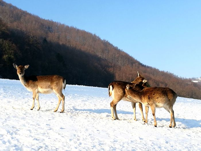 Snow Winter Animal Wildlife Beauty In Nature Nature Animals In The Wild Deers