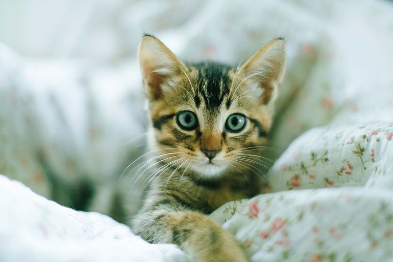 The kitten playing on bed Domestic Cat Looking At Camera Pets Domestic Animals Portrait Feline Mammal One Animal Animal Themes Whisker No People Indoors  Close-up Day