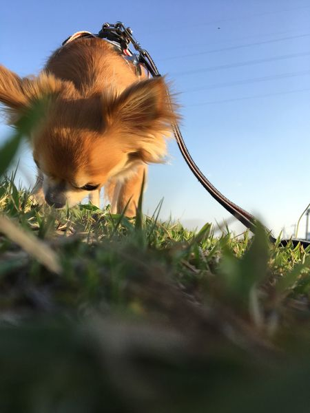 Domestic Animals Animal Themes Mammal Pets Field One Animal Grass Clear Sky Day Nature Sky No People Outdoors Close-up Chihuahua Niko Family Good Night Make You Coffee