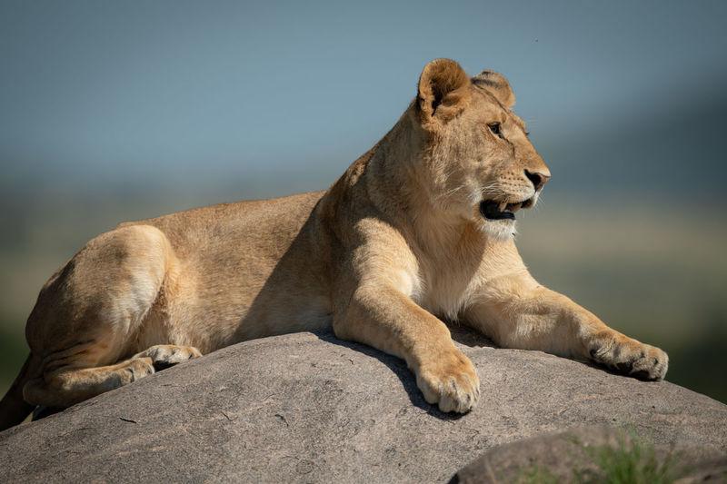 Big cat on rock