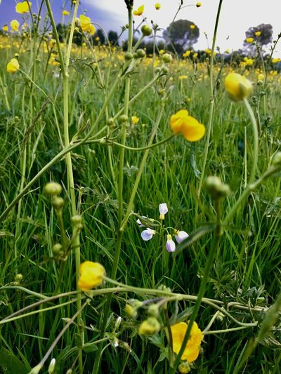 Plant Flower Growth Flowering Plant Yellow Beauty In Nature Freshness Field Land Flower Head Close-up Petal Grass No People Nature