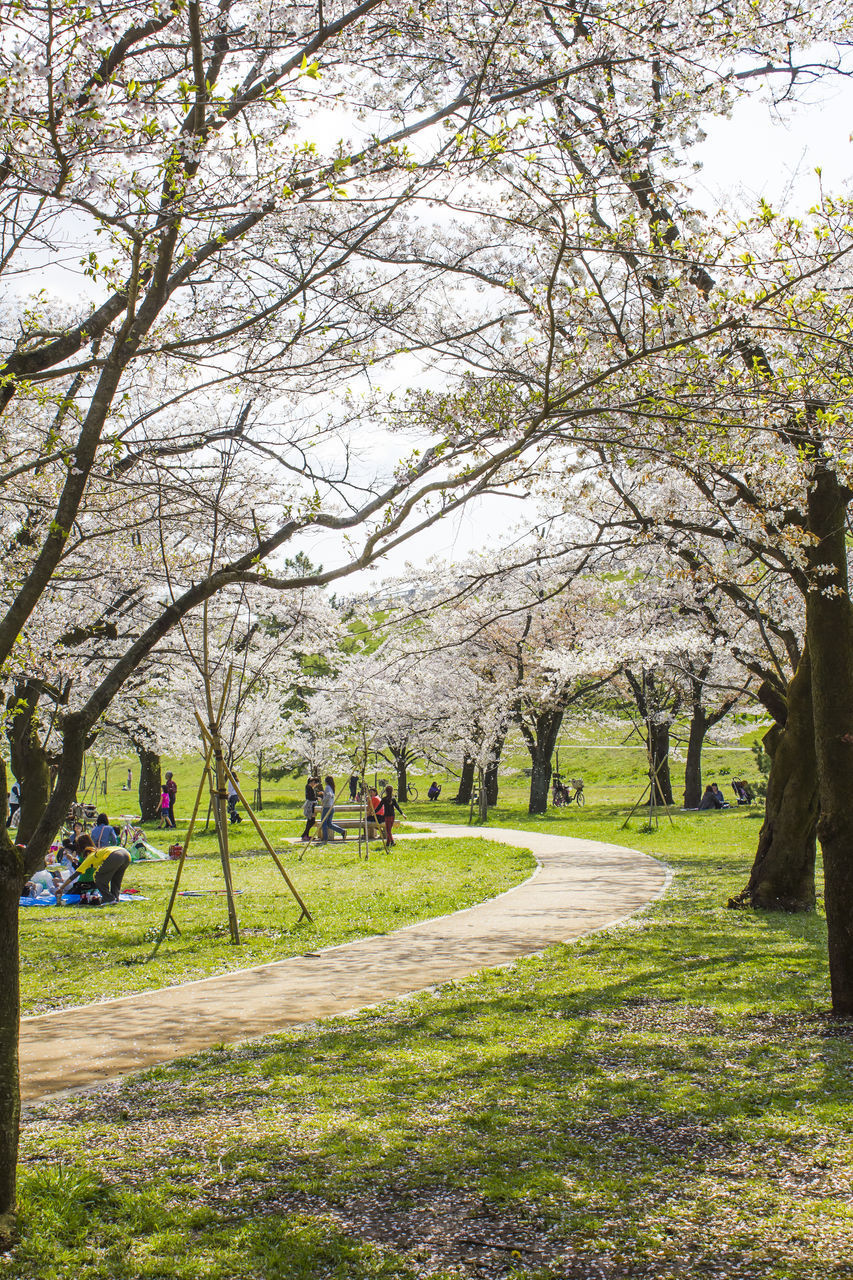 tree, plant, grass, park, nature, incidental people, growth, flower, blossom, park - man made space, day, branch, springtime, beauty in nature, flowering plant, footpath, tranquility, tranquil scene, travel destinations, scenics - nature, outdoors, cherry tree, cherry blossom