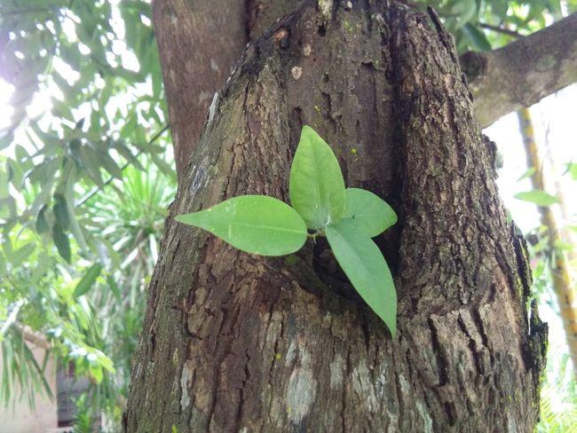 ธรรมชาติ🌿🌿🌿 Leaf Growth Tree Trunk Tree Plant Nature Day Wood - Material Green Color Outdoors No People Ivy😷 Close-up