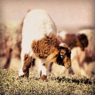 خروف حيوان مزرعة القصيم