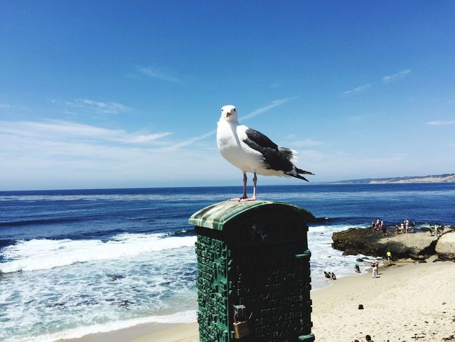 La Jolla Seagull Lajolla Seagull California Beach USA Sandiego Sandiego_ca San Diego