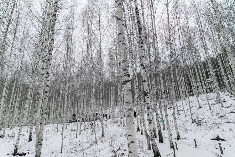 birch tree forest, Wondaeri, Injegun, Gangwondo, South Korea Bare Tree Beauty In Nature Birch Tree Branch Cold Cold Temperature Day Forest Frozen Landscape Nature No People Outdoors Scenics Snow Snowing Tranquility Tranquility Tree Tree Trunk Weather Winter Winter