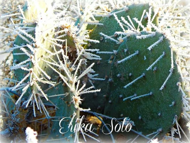 Last year Nature Photography Cactus Snow Days Westtexas
