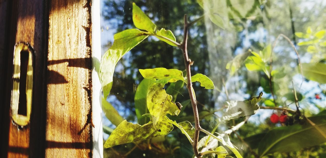 plant, leaf, plant part, growth, nature, green color, day, sunlight, no people, beauty in nature, focus on foreground, close-up, outdoors, tree, selective focus, freshness, wood - material, agriculture, food, food and drink
