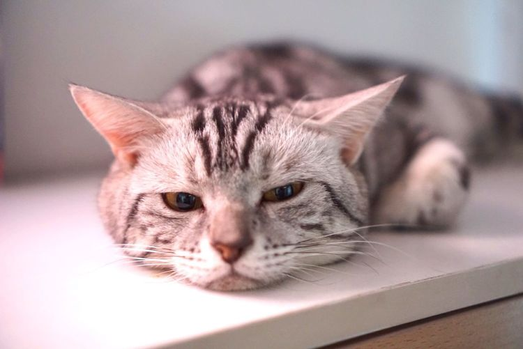 Pets American Shorthair Whisker Close-up Portrait Cat Tabby Cute