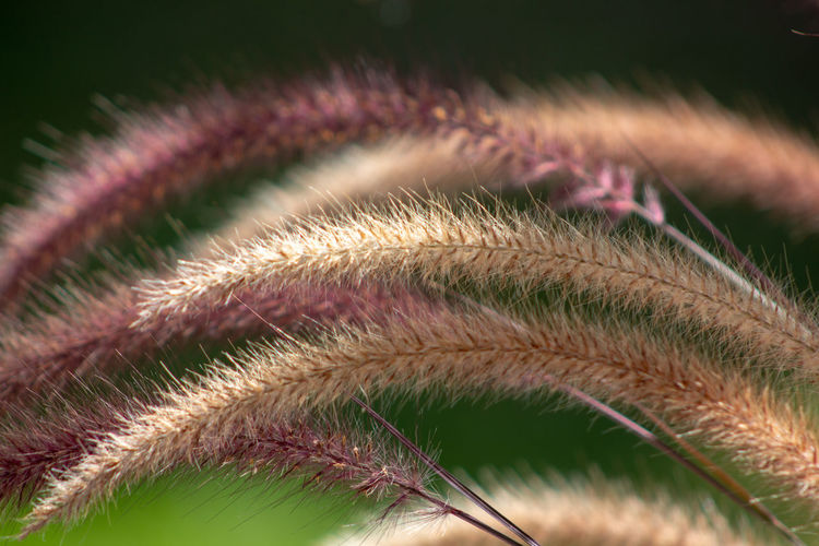 Purple Fountain Grass Purple Fountain Grass Beauty In Nature Close-up Day Extreme Close-up Flower Flowering Plant Focus On Foreground Fragility Golden Grass Green Color Growth Leaf Natural Pattern Nature No People Pattern Plant Plant Part Sawgrass Selective Focus Softness Vulnerability