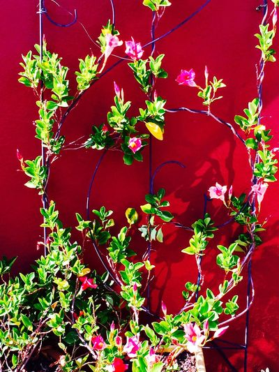 Patio Garden Red wall Red Leaf Plant No People Growth Day Outdoors Ivy Flower Nature Close-up Fragility Flower Head