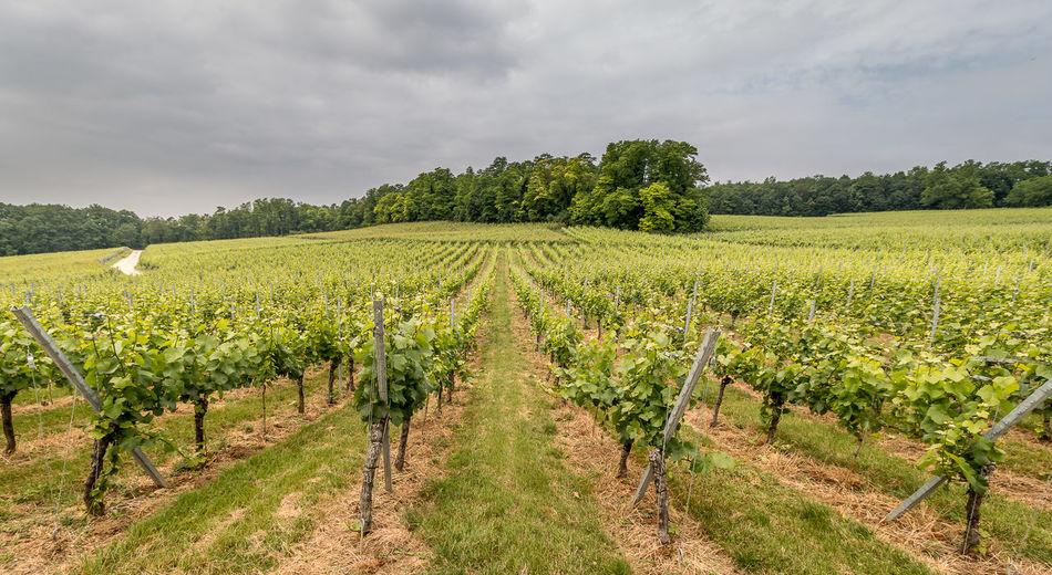 Weinreben im Markgräflerland Juni 2015 Cloud Cloud - Sky Day Landscape Nature No People Plant Sky The Way Forward Tree Vineyard