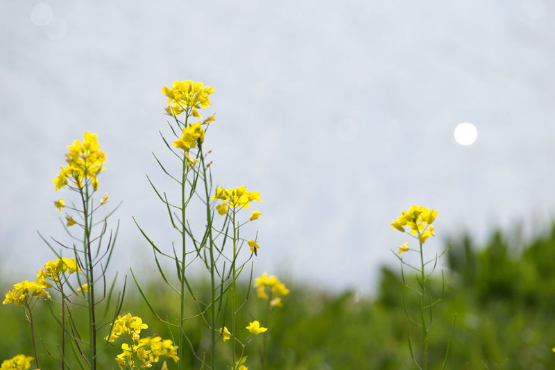 Beauty In Nature Blooming Blossom Close-up Field Flower Flower Head Focus On Foreground Fragility Freshness Growth In Bloom Nature Nikonのぼけだま。#菜の花 Petal Plant Sky Springtime Stem Wildflower Yellow 菜の花
