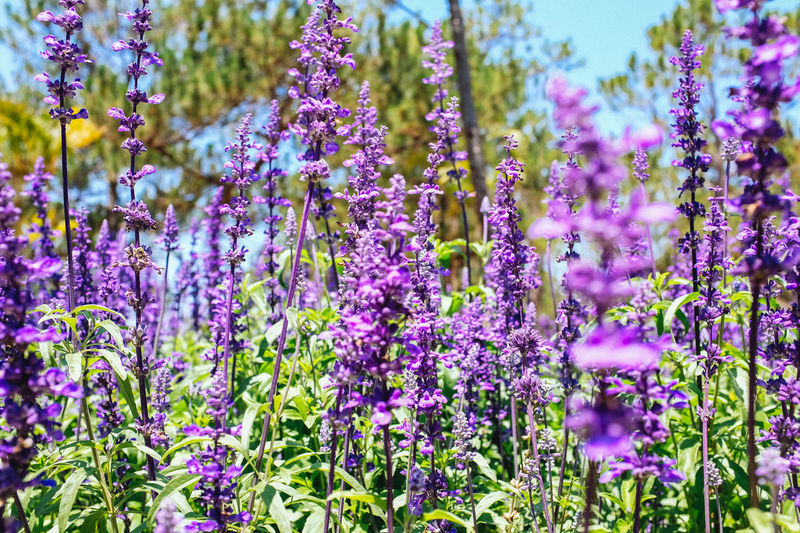 Blooming lavender field in Dalat, Vietnam Beauty In Nature Blooming Close-up Field Flower Flower Head Freshness Growth Lavender Nature Outdoors Plant Purple