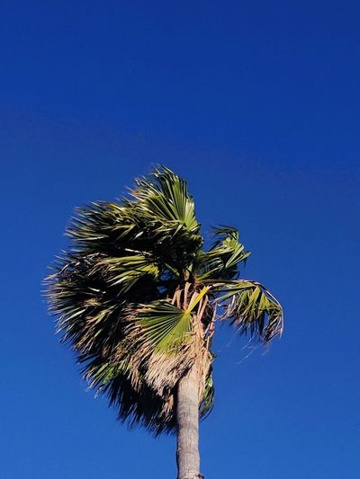 aloha Summer Blue Blue Sky Palm Tree Blue Tree Clear Sky Sky Tree Trunk Low Angle View No People Day Nature Outdoors Beauty In Nature Growth