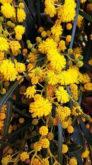 Yellow Bush