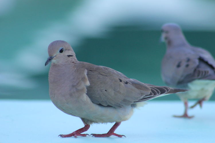 Mourning doves on surface