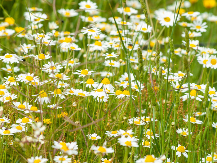 Chamomile Daisy Daisy Flower EyeEm Best Shots EyeEmNewHere Flowering Plant Grass Pasture Plant Allergy Beauty In Nature Camomile Close-up Day Dehesa Environment Field Flora Floral Floral Pattern Florals Flower Flower Head Flowering Plant Fragility Freshness Grass Green Color Growth Inflorescence Land Nature No People Outdoors Pasture, Paddock, Grassland, Pastureland Plant Pollen Pollination Selective Focus Spring Springtime Vulnerability  Yellow