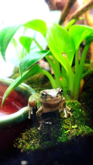 Terrarium カエル 両生類 Frog Amphibian