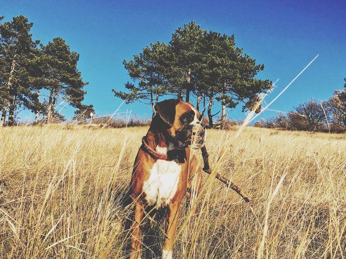 Boxer Dogs Ilovemydog Eye4photography