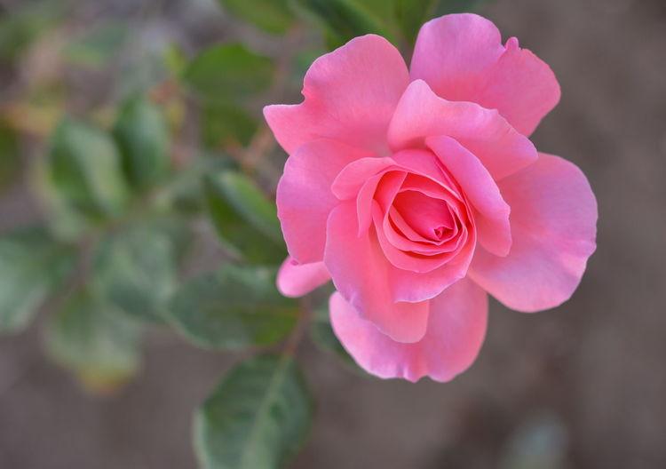 rose Beauty In