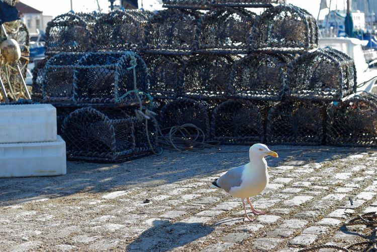 Creel Daily Catch Expectations Fishing Equipment Creels Fishing Industry Lobster Pots Seagull