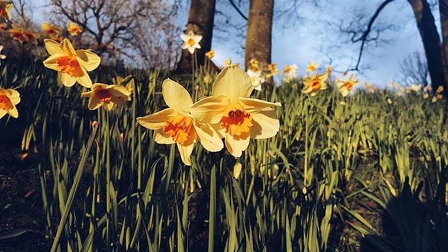 Spring is here! VSCO Vscocam Picoftheday Instaoftheday Ig_Scotland IgersScotland Livinginscotland Lifeinscotland Instascotland Insta_Scotland VisitScotland Explorescotland Vscotland Glasgow  Instaglasgow Ig_glasgow Igersscot Flower Spring Kelvingrovepark
