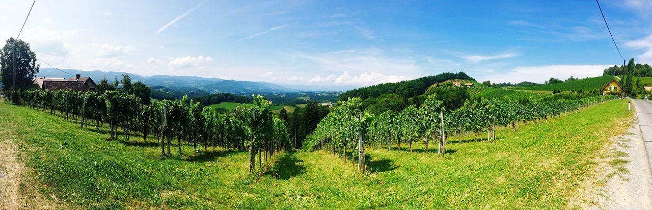 #Steiermark Weinstraße Styria Österreich Austria Weingarten Vinyard Weinrebe