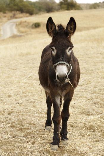 A mule in a