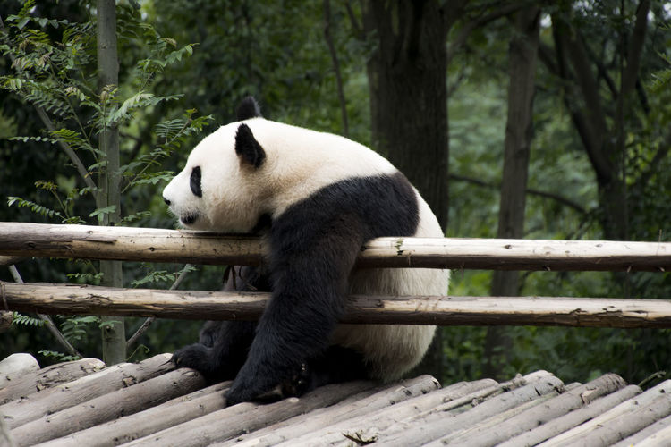 Panda relaxing on bamboo structure in zoo