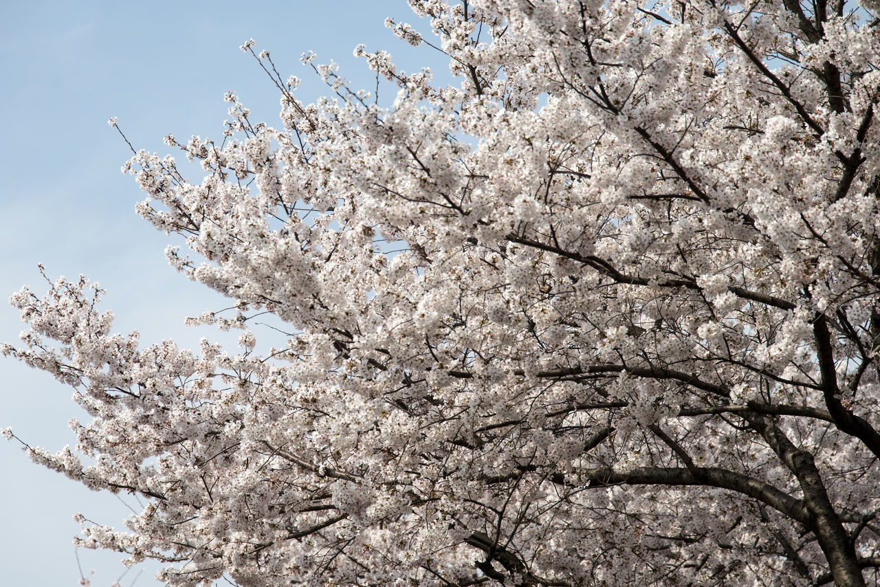 tree, flower, blossom, cherry blossom, springtime, low angle view, fragility, beauty in nature, branch, nature, cherry tree, apple blossom, apple tree, freshness, almond tree, growth, botany, white color, no people, orchard, day, magnolia, twig, outdoors, petal, sky, clear sky, close-up, backgrounds, blooming, flower head