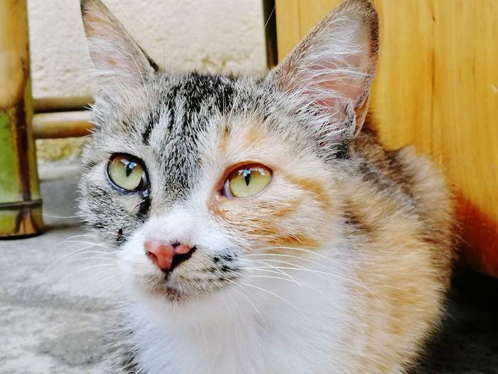 Portrait Feline Looking At Camera Whisker Close-up