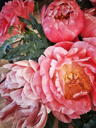 Picoftheday Pfingstrose Pink Pfingstrosen Flower Pink Color Plant Flowering Plant Close-up Freshness Fragility Beauty In Nature Vulnerability  Growth Inflorescence Nature Flower Head Full Frame Red