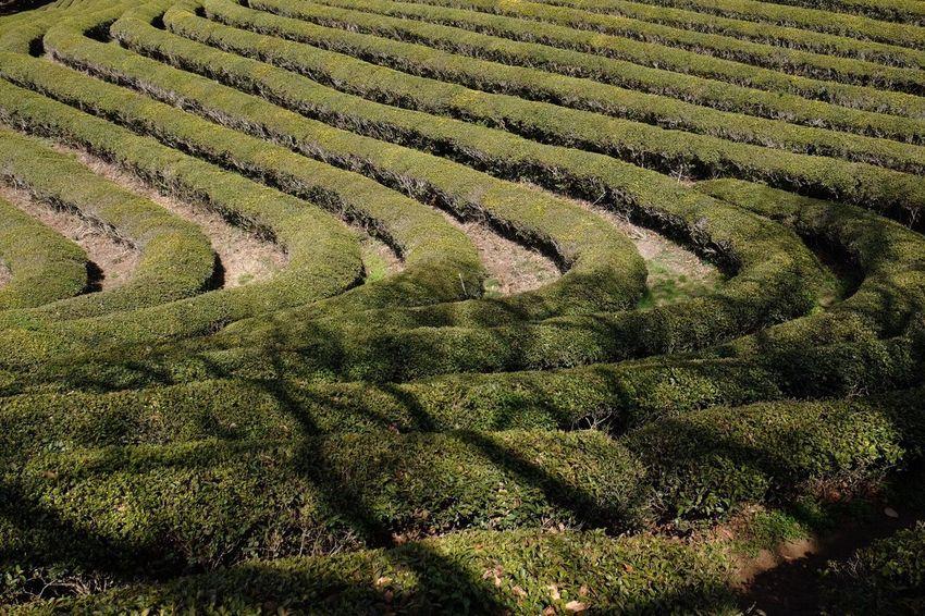 Fujifilm Beauty In Nature Travel Destinations FUJIFILM X-T1 Nature 한국 Green Tea Field 보성