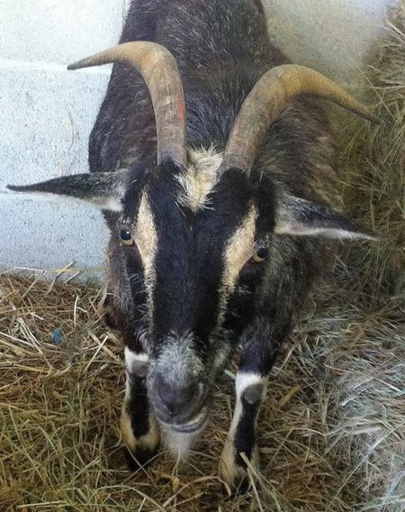 Animal Themes Close-up Domestic Animals Goat Horns Livestock Nature One Animal Portrait