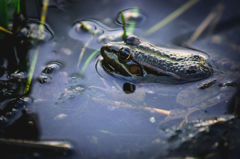 Reptile Water Close-up Animal Themes Frog Amphibian