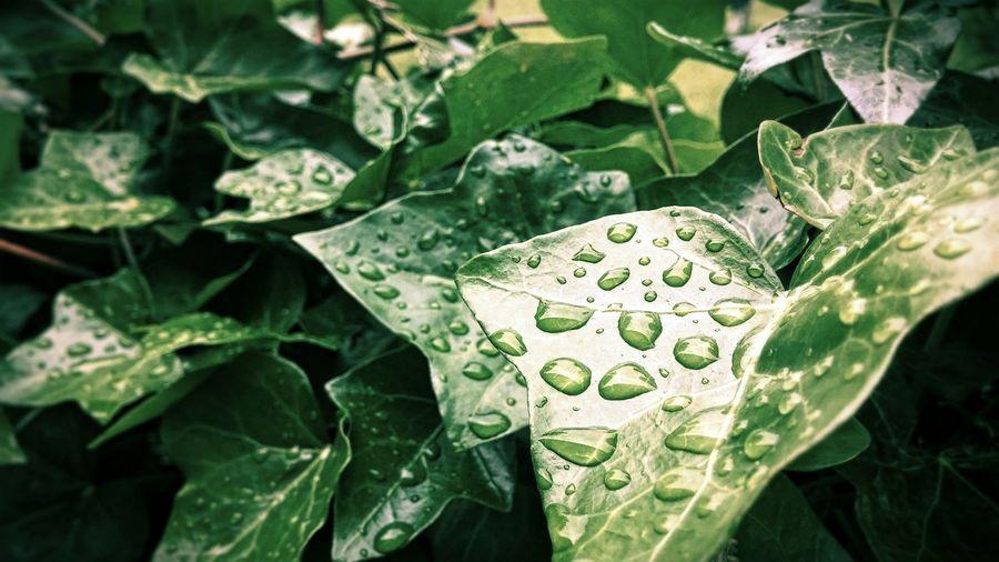 Efeu Waterdrops