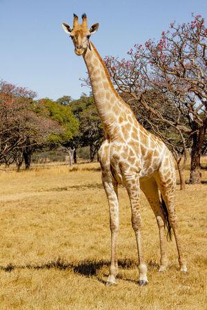 Africa African African Safari Animals Animals In The Wild Girrafe  Safari Safari Animals Safari Park Safaripark Wildlife Wildlife Photography