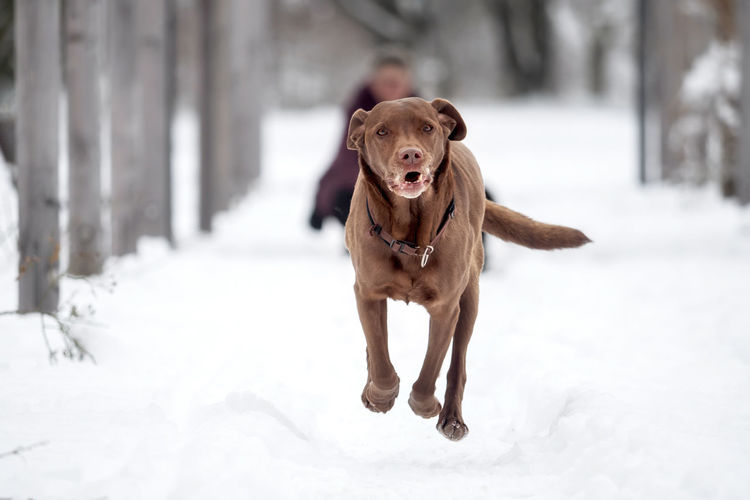 A black puppy is playing in the snow Animal Breed Cold Cute Dog Domestic Family Friend Fur Happy Ice Labrador Labrador Retriever Nature Obedient Dog Outside Pet Playful Purebred Retriever Season  Snow White Winter Canine Pets Domestic Animals Vertebrate One Animal Mammal Animal Themes Cold Temperature Running Field Day Land Focus On Foreground No People Outdoors