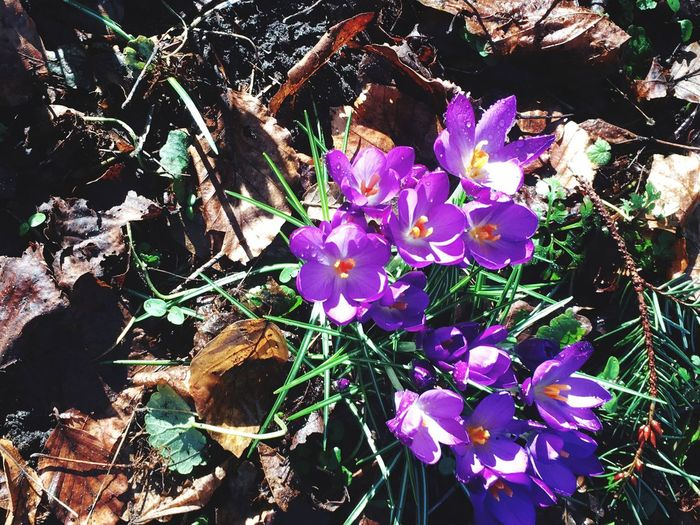 Iphonephotography Bulb Flower Spring Is Coming  Flower Purple Nature Fragility Beauty In Nature Petal Growth Blooming Close-up