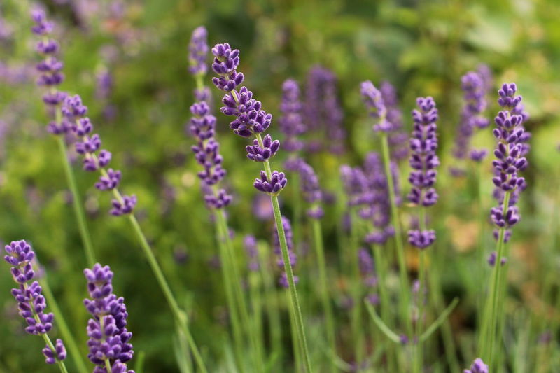 Blue Color Flower Fragility Garden Levander Levandula No People Plants And Flowers