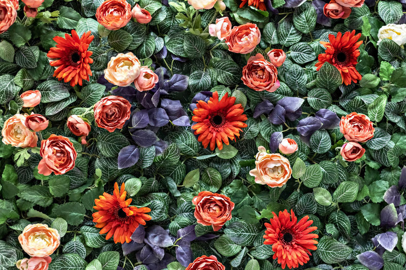 Background of spring artificial red chrysanthemums and peony roses in the garden. spring. blooming