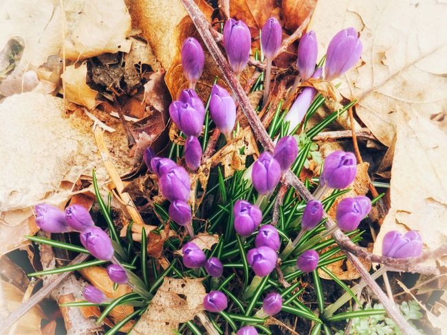 Spring flowers Spring Flowers Purple Flower Fragility Nature Growth Petal Outdoors Day No People Beauty In Nature High Angle View Freshness Crocus Flower Head Leaf Plant Close-up