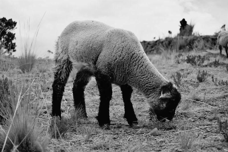Sheep Blackandwhite Travel Landscape Monochrome Light And Shadow Moutain Lifestyles Animal Themes Wild Sky Arid